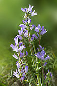 Spiked bellflower (Campanula spicata) flowers, Ubaye, Alps, France