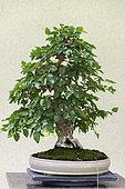 Chonowski's Hornbeam (Carpinus tschonoskii), 25 year old bonsai