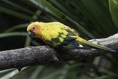 Sun Parakeet (Aratinga solstitialis) on a branch, North-East Brazil - Guyana