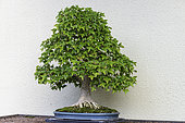 Trident Maple (Acer buergerianum), 65 year old bonsai offered by the Government of Japan at the Montreal Botanical Garden