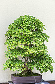 Trident Maple (Acer buergerianum), 65 year old bonsai offered by the Nippon Bonsaï Society