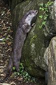 Eurasian Otter (Lutra lutra), Western Europe