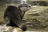 Asian Small-clawed Otter (Aonyx cinereus), South-East Asia