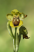Yellow Bee Orchid (Ophrys lutea lutea), flower, Grands Causses, Massif Central, France