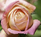 """Rose """"Souvenir de Lucien Massad"""", modern hybrid"""