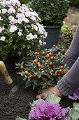 Planting Solanum pseudocapsicum