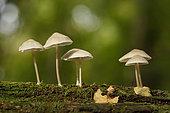 Parachute Mushroom (Marasmius sp) on stump, Alsace, France