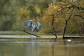 Grey heron (Ardea cinerea) jumping out of water, Alsace, France