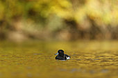 Tufted duck (Aythya fuligula), automn background, Alsace, France
