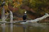 Great cormorant (Phalacrocorax carbo) in automn, Alsace, France