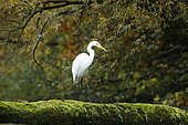 Great egret (Ardea alba) automn background, Alsace, France..
