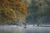 Great cormorants (Phalacrocorax carbo) in automn, Alsace, France