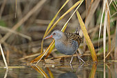Water rail (Rallus aquaticus) in a reed-bed, Alsace, France