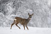 Roe buck (Capreolus capreolus) in snow, Alsace, France