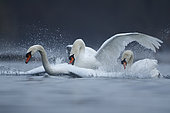 Three Mute swans (Cygnus olor) fighting on water, Alsace, France