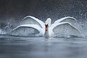 Two Mute swan (Cygnus olor) fighting on water, Alsace, France
