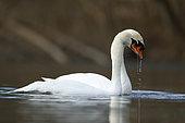Mute swan (Cygnus olor) pair on water, Alsace, France