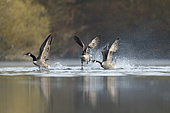 Territory fights between Canada Gooses (Branta canadensis), Alsace, France.