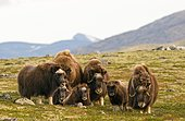 Musk oxes (Ovibos moschatus), Herd with young animals, Dovrefjell National Park, Norway, Europe