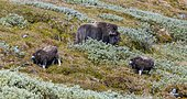 Musk ox (Ovibos moschatus) with two young animals in the tundra, Dovrefjell National Park, Oppdal, Norway, Europe
