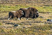 Musk ox (Ovibos moschatus), with young animal standing in the tundra in Dovrefjell National Park, Norway, Europe