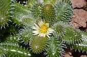 Pickle plant (Delosperma echinatum) flower, South Africa