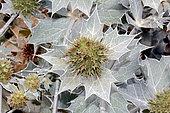 Seaside eryngo (Eryngium maritimum) inflorescence