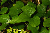 Black bryony (Dioscorea communis) leaves, Dordogne, France