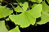 Maidenhair tree (Ginkgo biloba) leaves, Jardin des Plantes, Paris, France
