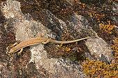 Iberian Wall Lizard (Podarcis hispanica) on rock, Insolation, Ardeche, France