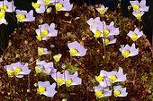 Bladderwort (Utricularia bisquamata) flowers