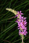 Purple loosestrife (Lythrum salicaria) flowers, Herault, France