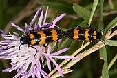Blister beetle (Mylabris variabilis) mating, Hérault, France