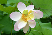 Sacred lotus (Nelumbo nucifera) flower, Jardin des Plantes, Paris, France
