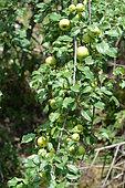 European crab apple (Malus sylvestris) fruits, Ardèche, France