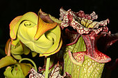 Hybrid Pitcherplant (Sarracenia x moorei) flower and urn