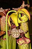 Hybrid Pitcherplant (Sarracenia x moorei) flower and urns