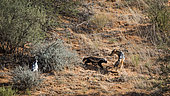 Honey badger (Mellivora capensis), Black backed jackal and Pale Chanting-Goshawk in hunting in Kgalagadi transfrontier park, South Africa