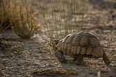 Leopard tortoise (Stigmochelys pardalis) walking rear view in backlit in Kgalagadi transfrontier park, South Africa