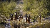 Meerkat (Suricata suricatta) standing in alert in backlit at dawn in Kgalagadi transfrontier park, South Africa