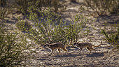 Two Meerkats (Suricata suricatta) running in scrubland in backlit in Kgalagadi transfrontier park, South Africa