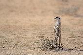Meerkat (Suricata suricatta) standing in alert in desert area in Kgalagadi transfrontier park, South Africa