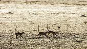 Three Meerkats (Suricata suricatta) running in dryland in Kgalagadi transfrontier park, South Africa