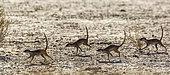 Four Meerkats (Suricata suricatta) running in dryland in Kgalagadi transfrontier park, South Africa