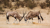 Two South African Oryx (Oryx gazella) bull fighting in Kgalagadi transfrontier park, South Africa