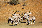 Small group of South African Oryx (Oryx gazella) grazing in desert in Kgalagadi transfrontier park, South Africa