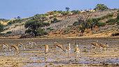 Herd of Springboks (Antidorcas marsupialis) grazing after rain in Kgalagari transfrontier park, South Africa