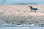 Common Redshank (Tringa totanus) on ground during a migration stopover on the Great Loire, France