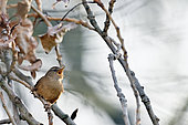Wren (Troglodytes troglodytes) on a branch in spring, Loire river, France