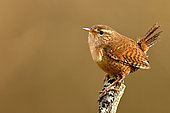 Wren (Troglodytes troglodytes) on a branch in the alluvial forest of the Loire, France